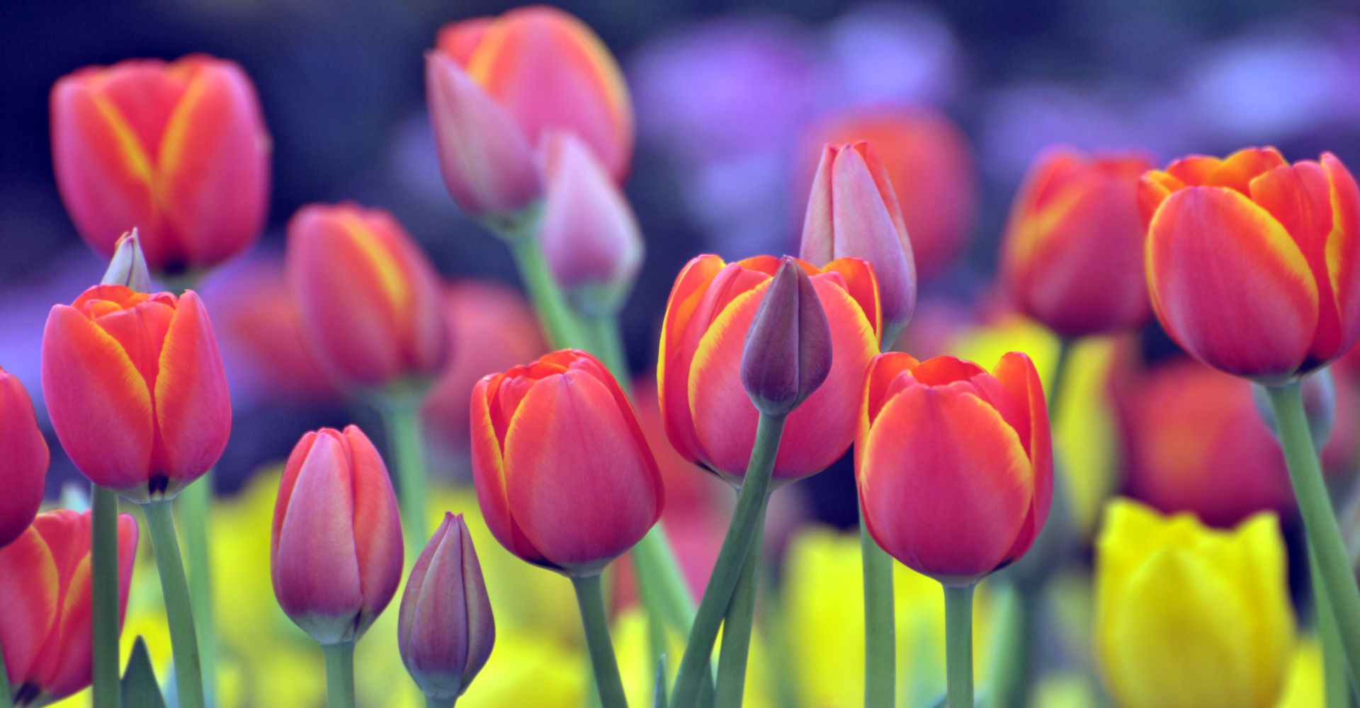 Tulips picture